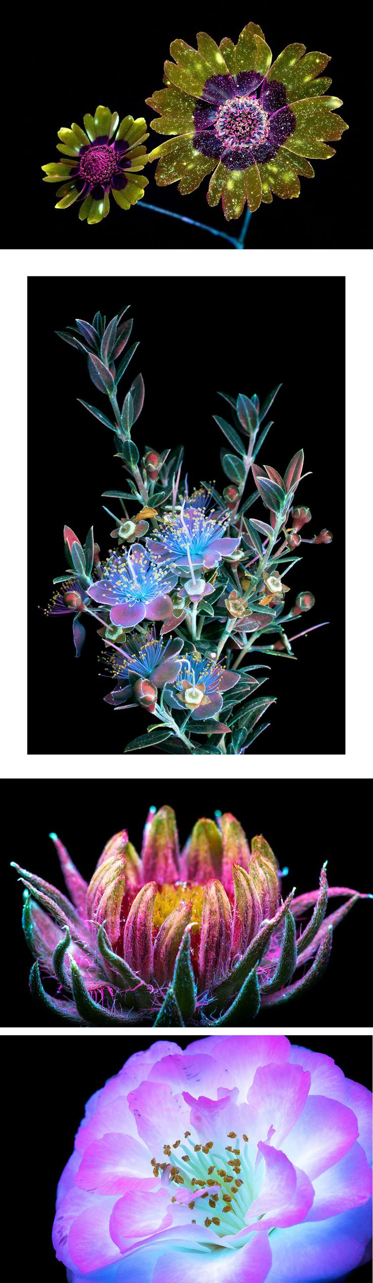 Dazzling Images of Glowing Flowers Photographed With Ultraviolet-Induced Visible Fluorescence