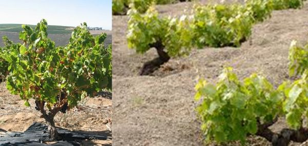 Il primo si Unesco a vite alberello, Pantelleria in lista - News - World Wine Passion
