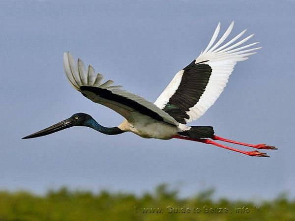 A Jabiru flys over the Crooked Tree Wildlife Sanctuary in Belize