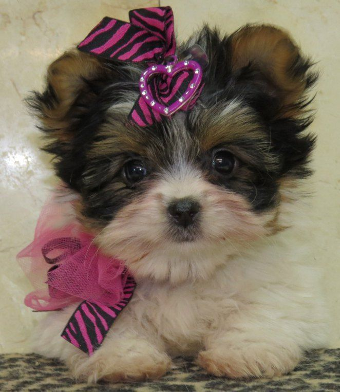 Teddy Bear Dog Breeds Shorkie Puppies Dog Stories
