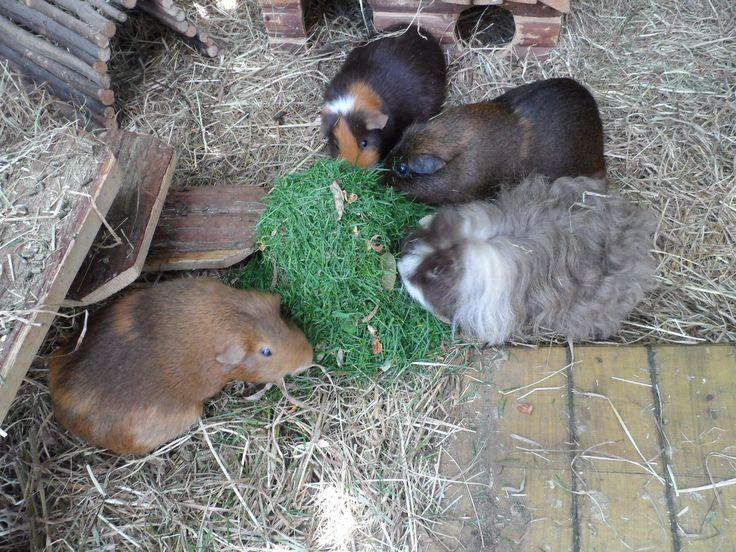 my four guinea pig ladies