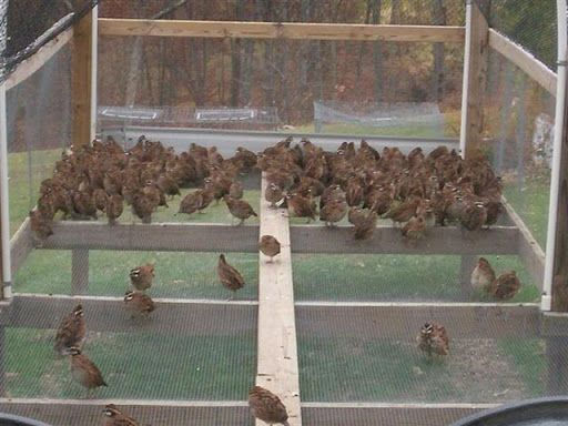 Build a quail pen bobwhite quail pens for sale http for Building a quail house