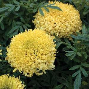 Tall Sierra Yellow Marigold Flower Seeds/Tagetes Erecta/Annual    50+ by MyFlowerGrounds on Etsy