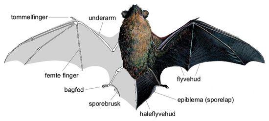 flagermus,  Chiroptera, pattedyrorden, som omfatter de eneste pattedyr, der har vinger og kan flyve aktivt (gr. Chiroptera betyder 'håndvinge'). Inden for flere andre pattedyrordener findes arter med flyvehud; de kan svæve fra træ til træ, men de kan ikke flyve aktivt. Et gammelt dansk navn for flagermus er
