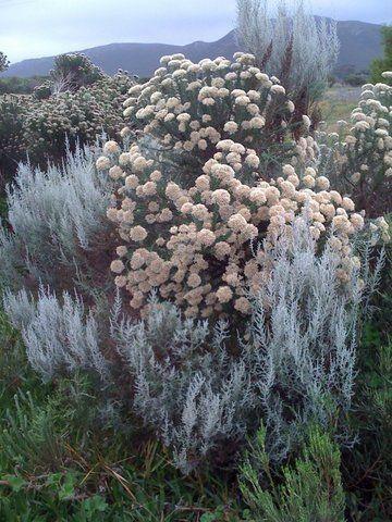 Cape fynbos - Blombos