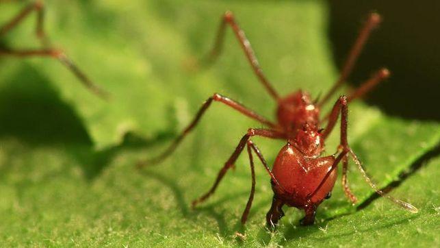 No subestimes la capacidad de las hormigas rojas de sobrevivir tras el huracán Harvey