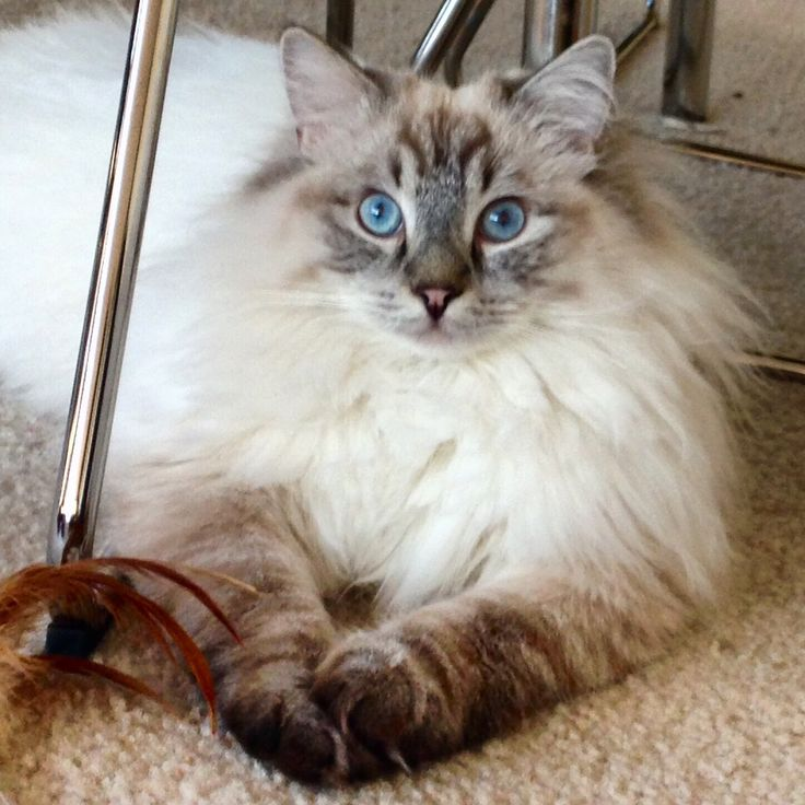 siamese x ragdoll kittens - photo #24