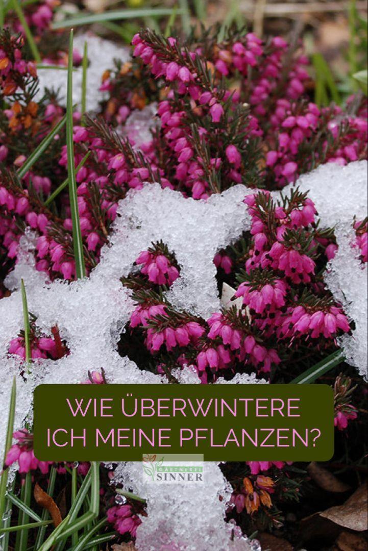 Kubelpflanzen Uberwintern Kubelpflanzen Pflanzen Winterharte Pflanzen