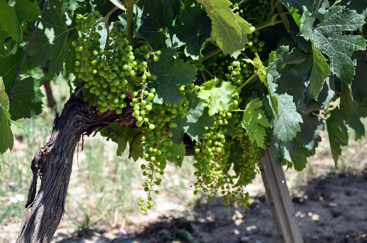 Penedes Region, Espana...I loved this region! This region has fantastic cavas and began the harvest of Cabernets in Spain