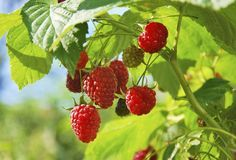 Even gardeners with limited space can enjoy a berry harvest by growing raspberries in containers. Growing raspberries in containers is no more work than planting them in the ground. If you are interested in container gardening with raspberries, click here.