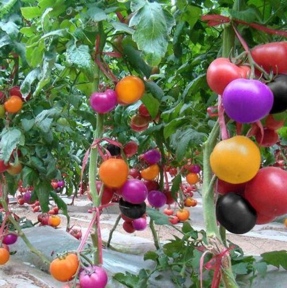 200 Bag Climbing Tomato Bonsai Edible Tomato Plants Tomato Vegetable