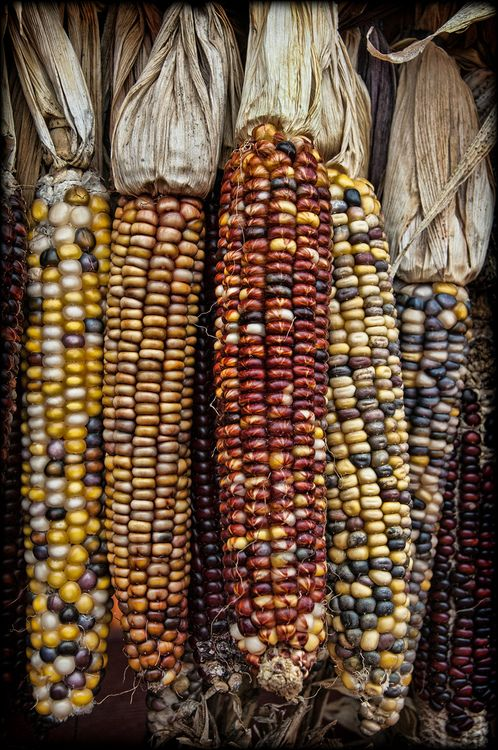 Zea mays indurata, commonly known as 'Indian corn' or flint corn. Indian corn from DriedDecor.com