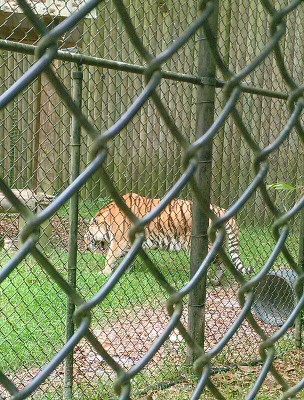 Camp Kulaqua Tiger