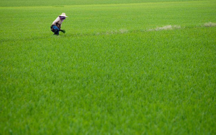 paddy field, sekinchan, malaysia