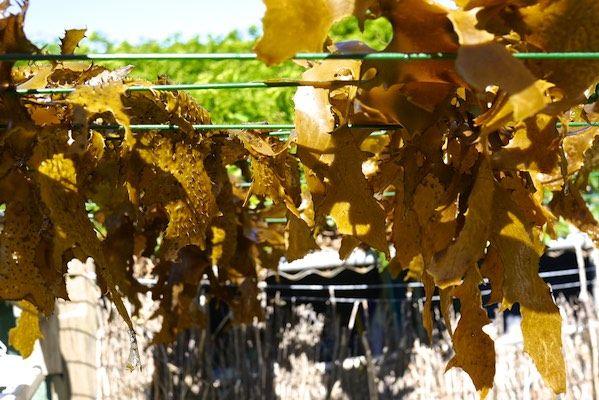 Foraging, Drying + Eating Seaweed 8