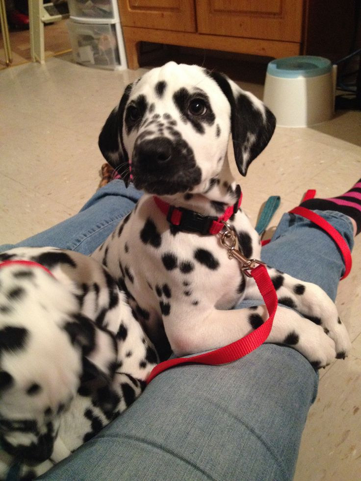 Dalmatian Puppies For Sale In North Carolina USA