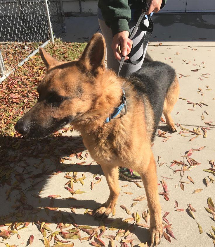 German Shepherd Dog dog for Adoption in Leesville, SC. ADN