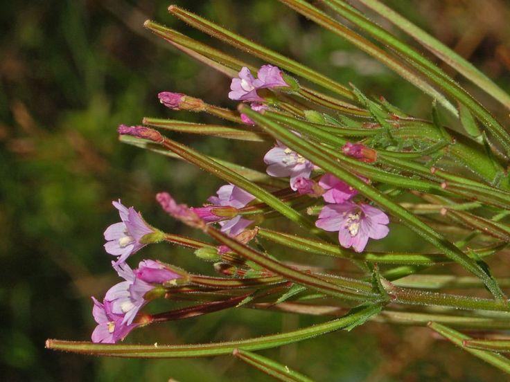 Epilobio de flor pequeña (Epilobium parviflorum) | Cuidar de tus plantas es facilisimo.com