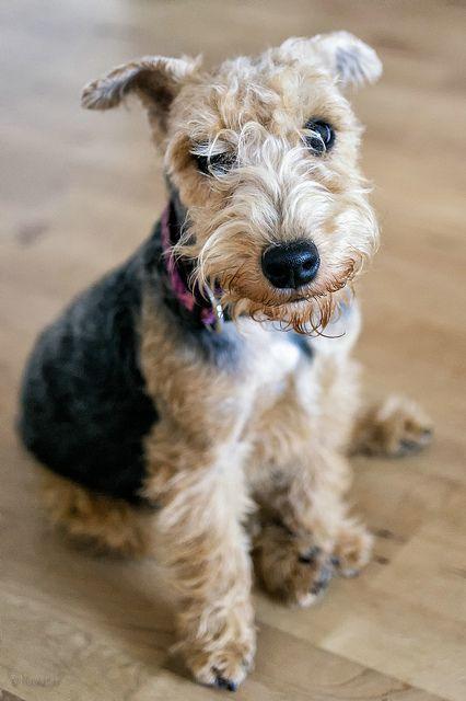 Best 25+ Terriers ideas on Pinterest  Cairn terrier, Cairn terriers and Terrier