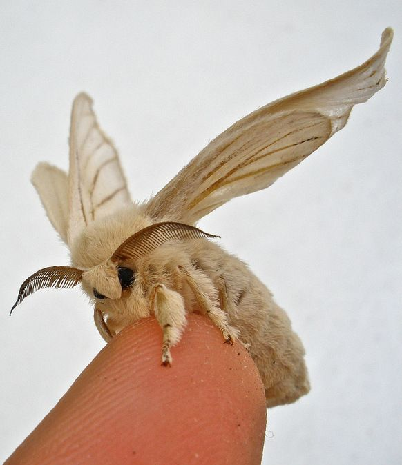 Silkworm Moth or Bombyx Mori LOOK AT HOW PUFFY IT IS