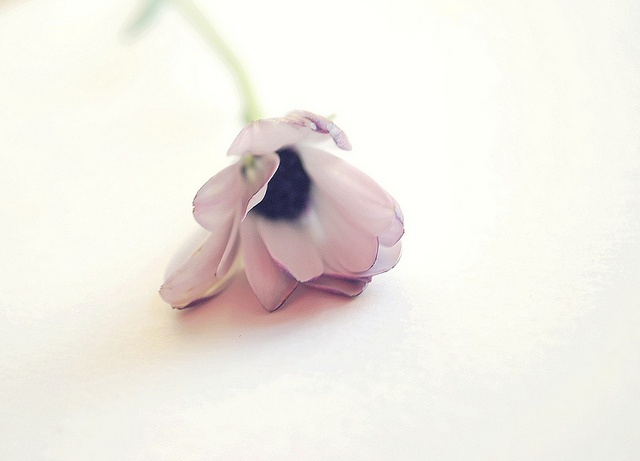 Beautiful and delicate anemone, photographed by Miss Babacilu