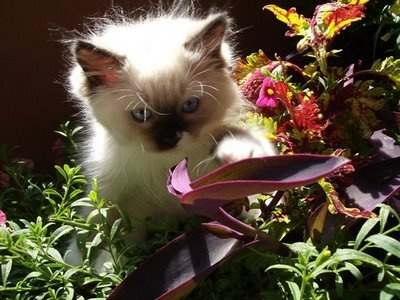 Ragdoll Cats | Cat Pictures and Videos: Ragdoll Cats, Cat Pictures