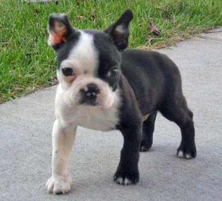 Auger-Boston Terrier
