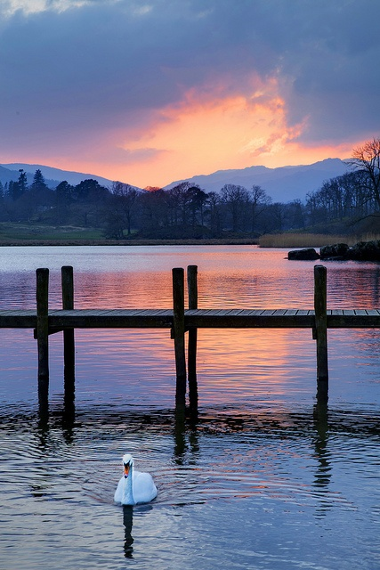 Swan on Lake Windermere at Sunset
