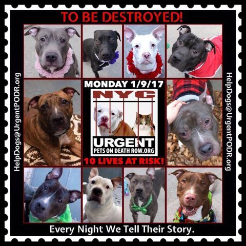 TO BE DESTROYED 01/09/17 - - Info   To rescue a Death Row Dog, Please read this:http://information.urgentpodr.org/adoption-info-and-list-of-rescues/  To view the full album, please click here:http://nycdogs.urgentpodr.org/tbd-dogs-page/ -  Click for info & Current Status: http://nycdogs.urgentpodr.org/to-be-destroyed-4915/