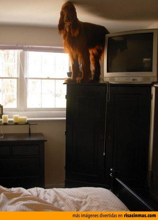 Mi perro sobre el armario.