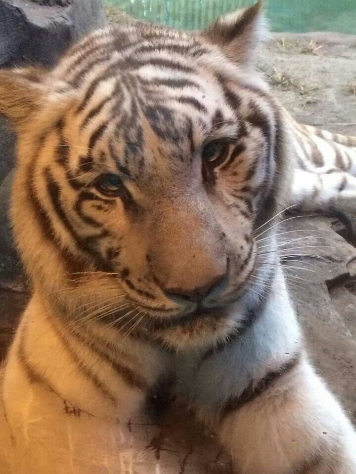 White Tiger With Red Eyes