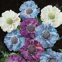 Isaac House hybrid scabiosa, blue, white, purple