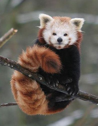 "Ok, I seriously thought it was wearing a shirt or jacket upon first glance (like, artsy or biker red panda) -- Rare Red Panda, or ""Fire Fox"""