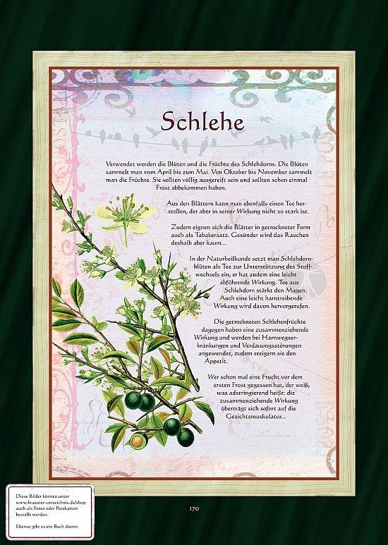 Schlehdorn - Schlehe