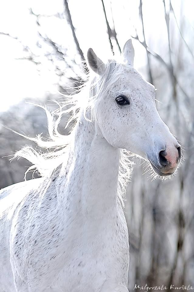 White Beauty, horse, heste, animal, beautiful, gorgeous, wild, photo