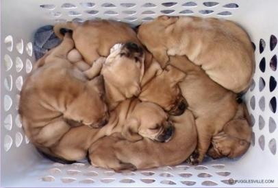 pile of puggles :-)