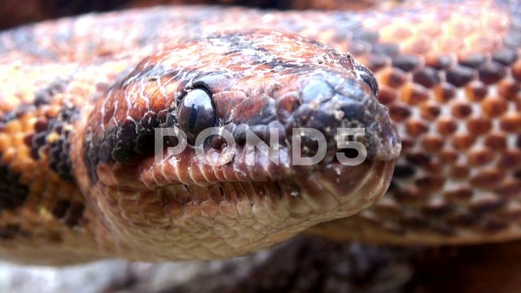 Snake video, Wild Animal reptile, red head, extremly close up 4k Stock Footage #…