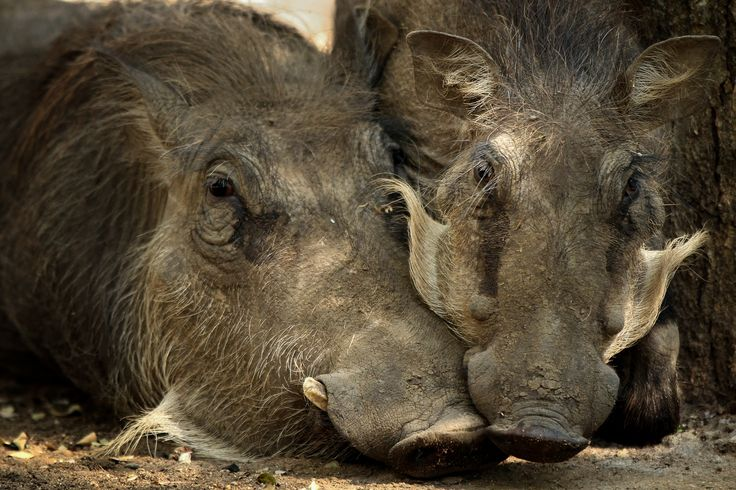 Relaxing warthogs @ Eden Safari Country House