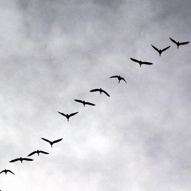 #signsofspring #migratingbirds #migratinggeese #geese #zugvögel #gänse #frühlingsboten #keväänmerkki #muuttolinnut #hanhet #whppatterns