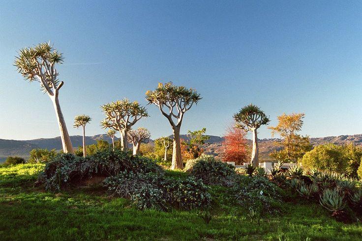Clanwilliam, Kokerboom Trees
