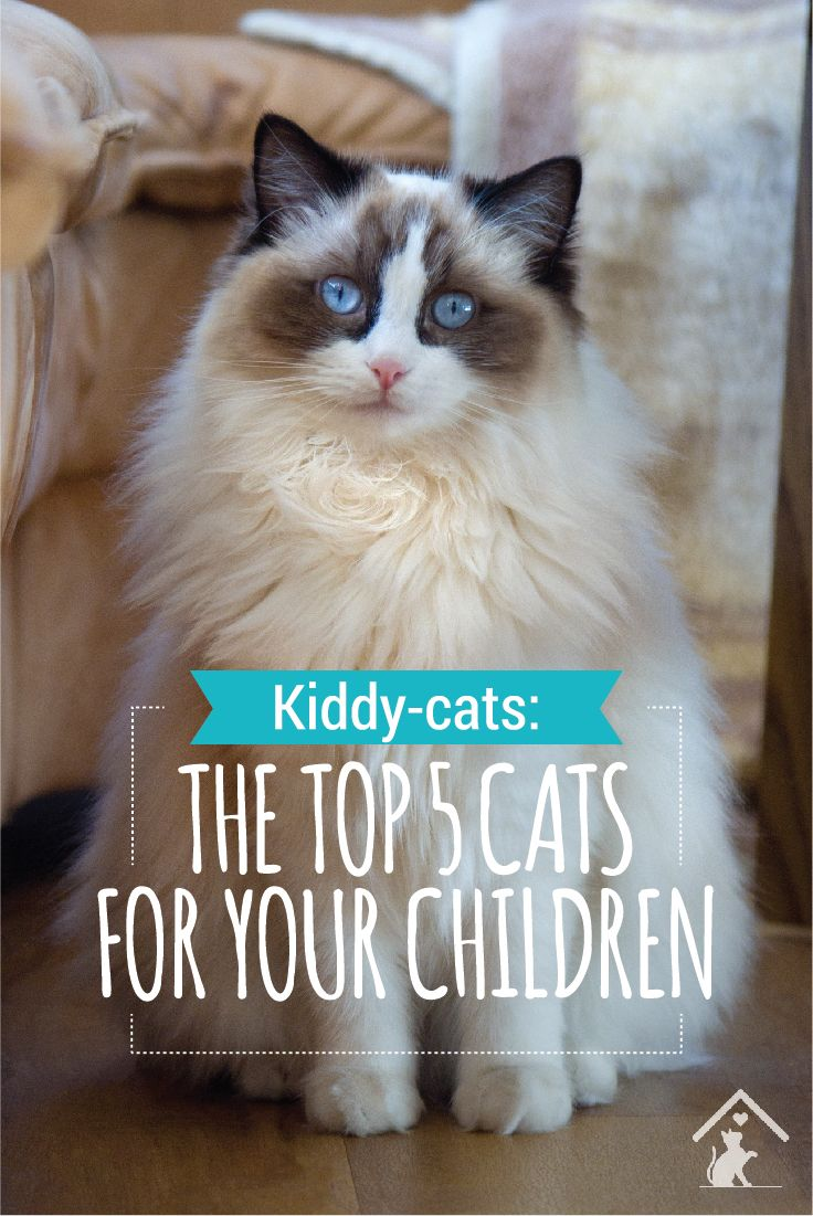 Ragdoll cats are just one of the top 5 cat breeds for kids! Click the pin to see if your cat is great for children. #petcat #cutecat