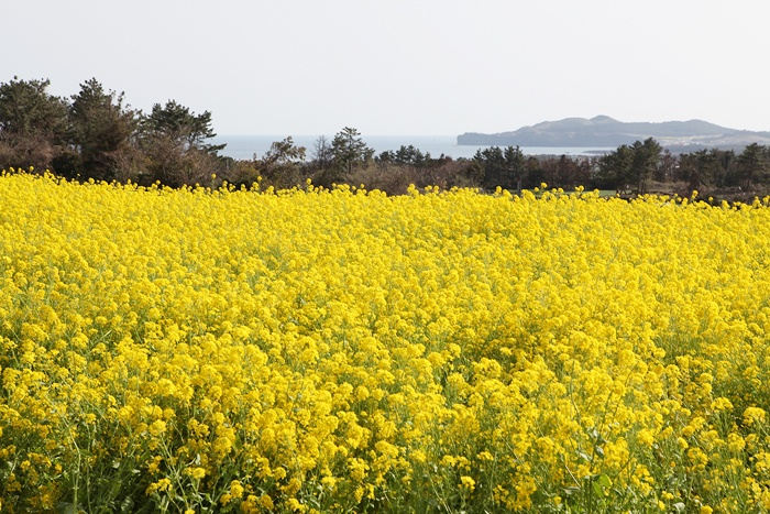 제주도의 봄!! 유채꽃 가득한 제주도 ::