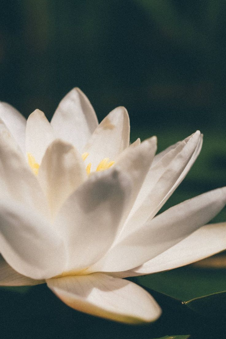Close Up Photo of a White Blooming Petaled Flower