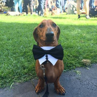 And smart lookin' good boys, like this: | 15 Pictures Of Wiener Dogs In Costumes Having The Time Of Their Lives