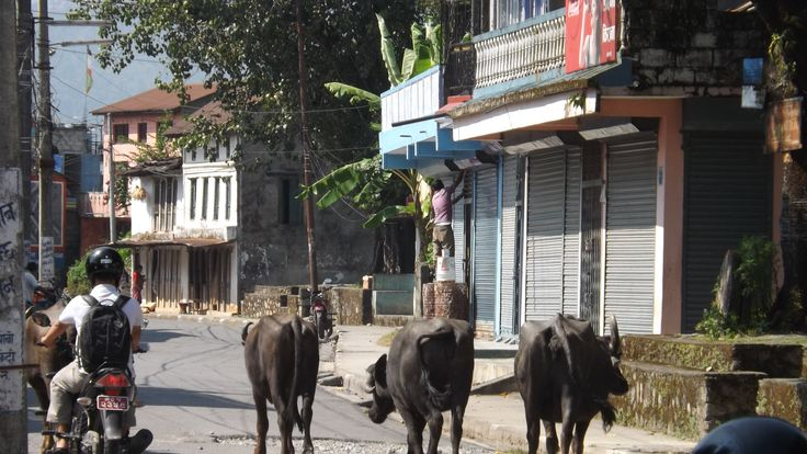 You don't often sees cows wondering in the streets in Nepal, it is not like India in that sense.