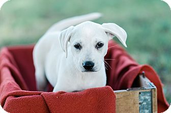 Seneca, SC - Black Mouth Cur/Boxer Mix. Meet Charlotte $250 a Puppy for Adoption.