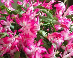 Cactusii: sfaturi de ingrijire si cultivare
