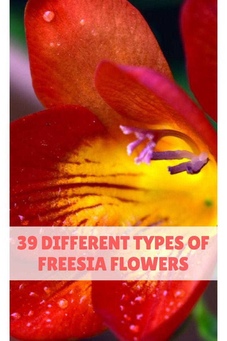 39 Different Types Of Freesia Flowers Freesia Flowers Freesia Flowers