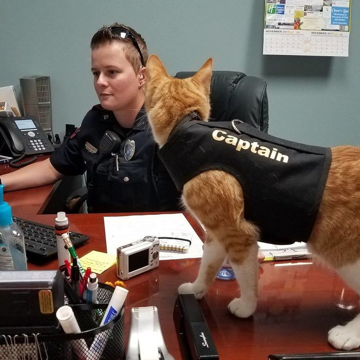 When Port Lavaca Police Department in Port Lavaca, Texas decided that they needed a feline officer to help them manage their office and keep the city safe, they recruited a ginger and white cat from the shelter. He was aptly named The Captain! The Captain @thecaptain_policecat Last April, ...