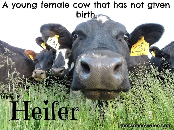"""A """"heifer"""" is a young female cow that has not yet given birth. #DairyGood"""